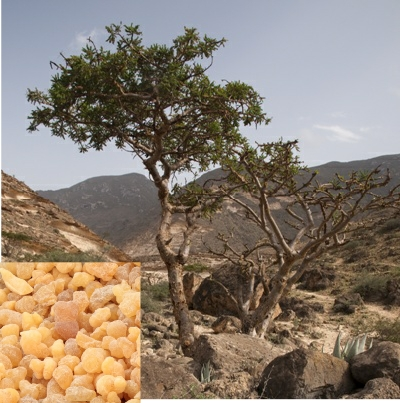 Frankincense with tree