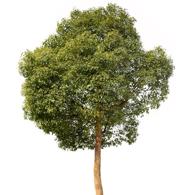 small camphor tree