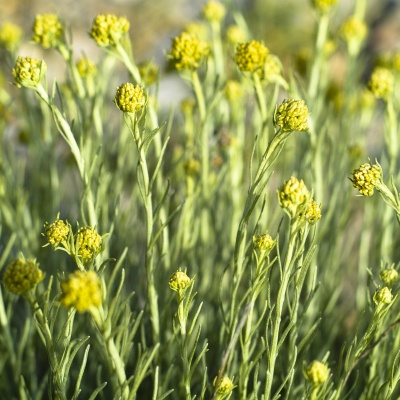 Helichrysum italicum (Helichrysum angustifolium)