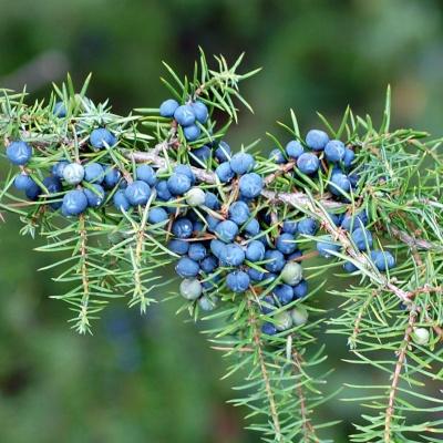 juniper fruits