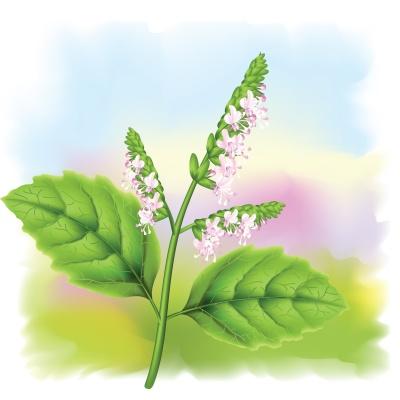 Plant patchouli (Pogostemon cablini).