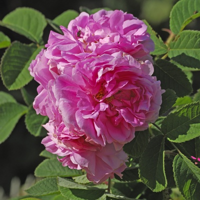 Rosa x damascena / Rose de Damas / Rose de Puteaux