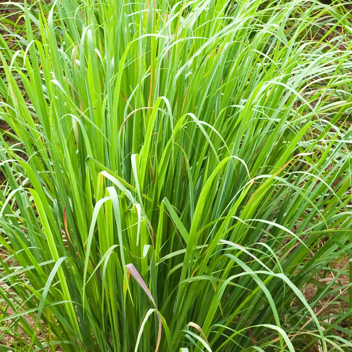 Lemon grass plant,North East of Thailand.