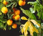 Ylang ylang & Mandarin